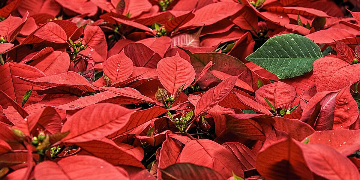 Make sure your Poinsettia is getting the right care