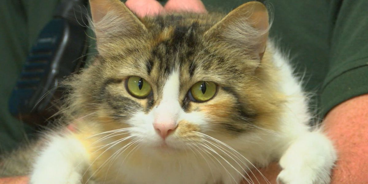 Brandy, the calico, kittens up for adoption at Nacogdoches Animal Shelter