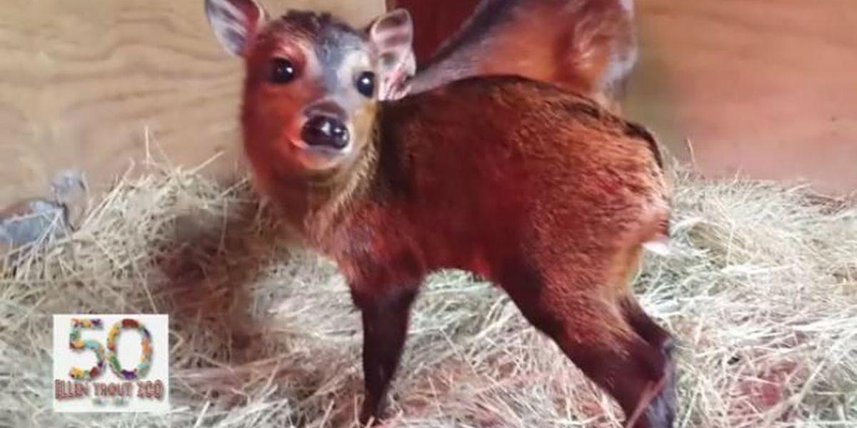 Bay duiker calf born at Lufkin's Ellen Trout Zoo