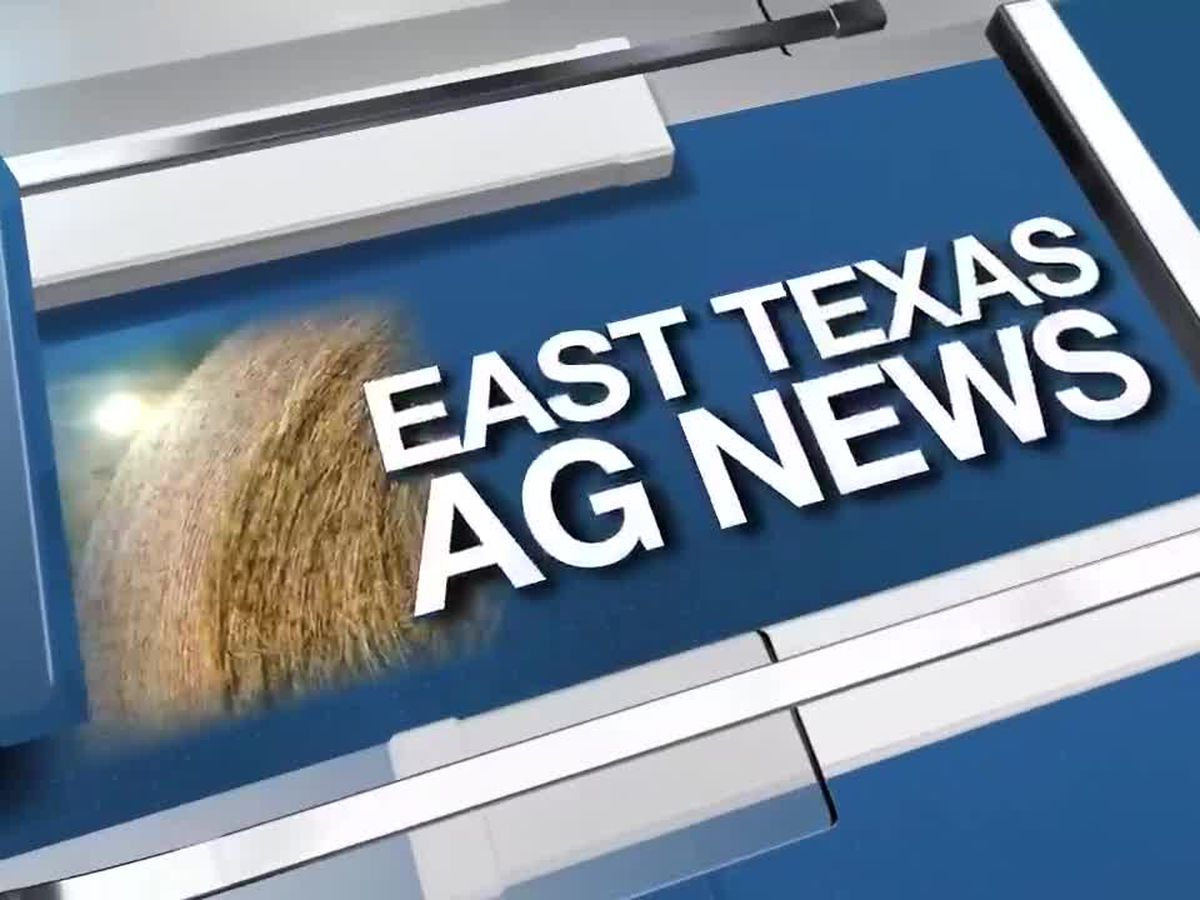 East Texas Ag News: Spotting brown patch fungus in St. Augustine lawns