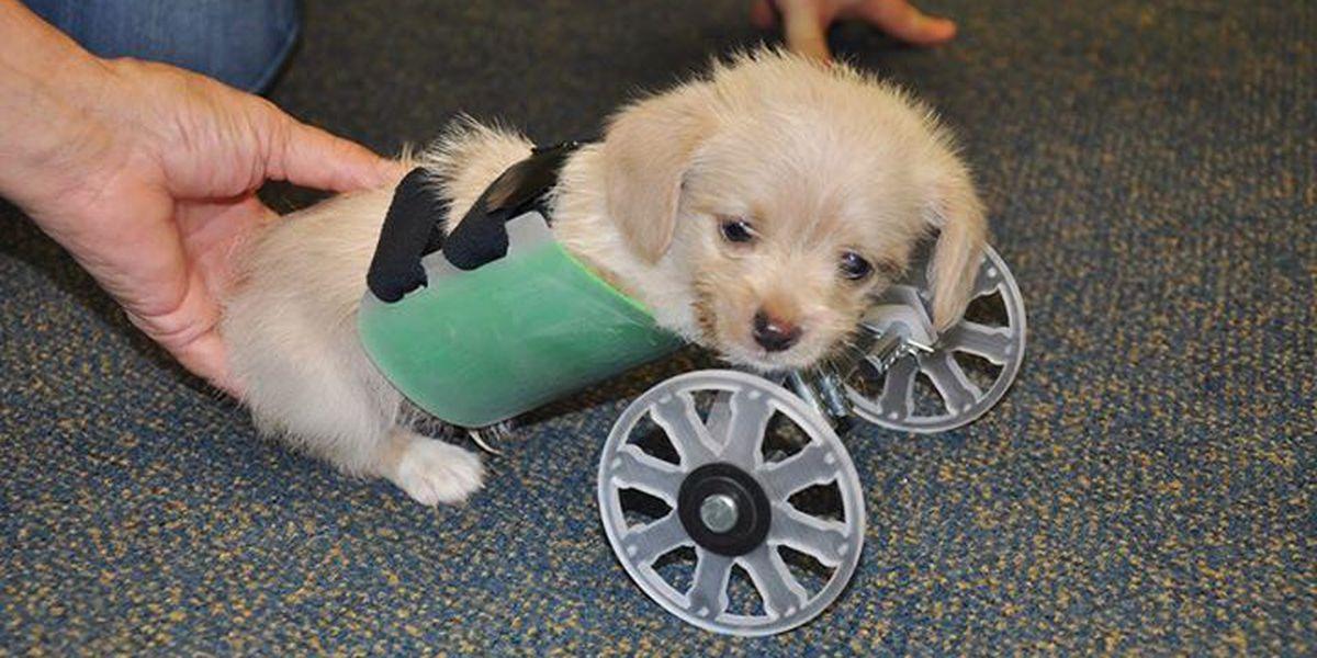 Two-legged puppy Tumbles receives 3D-printed wheelchair