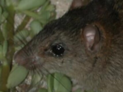 Bramble Cay melomys: First mammal extinct due to climate change, Australia says
