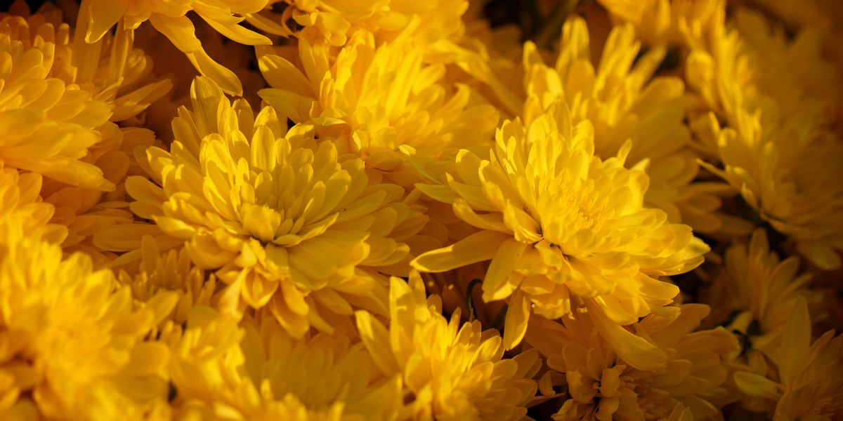 East Texas Ag News: Time to plant mums for fall color