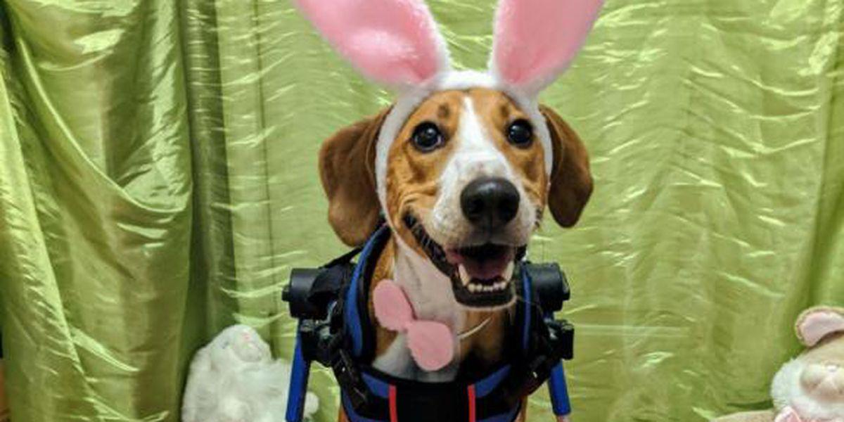 Meet the new Cadbury Bunny: He's a dog named Lt. Dan