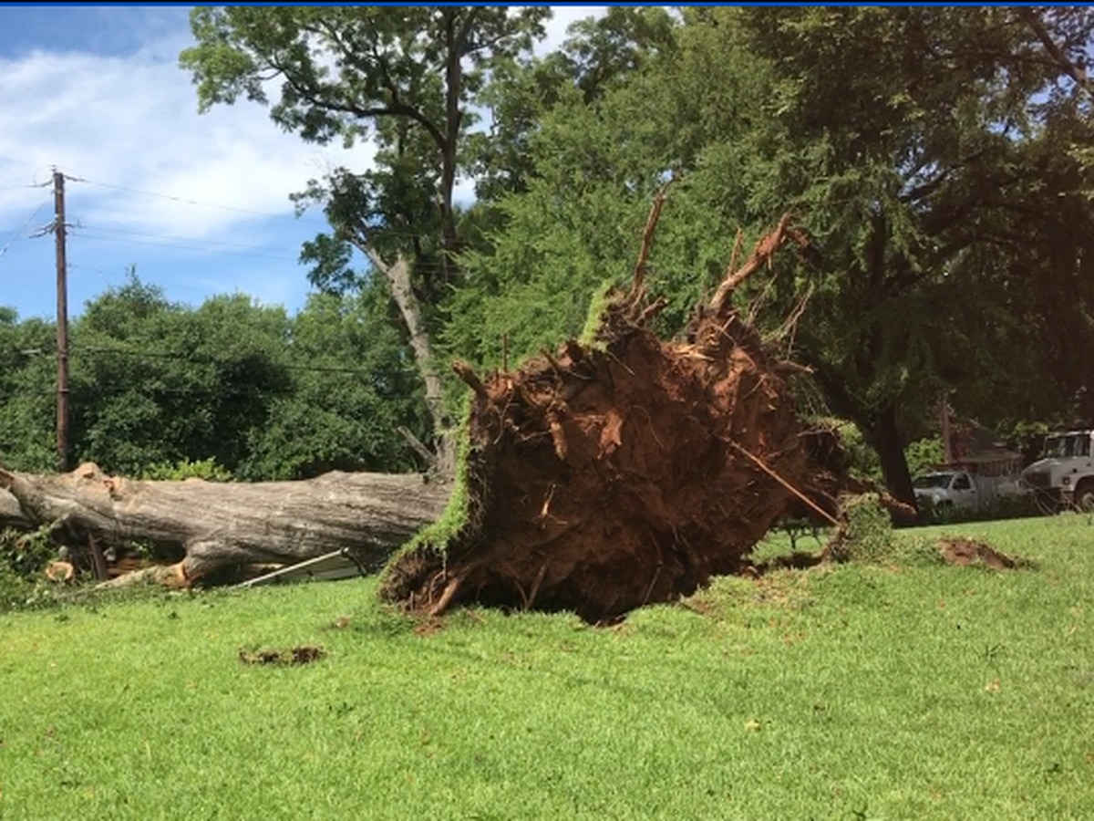 Crews dismantle enormous tree that toppled during early morning storms in Nacogdoches