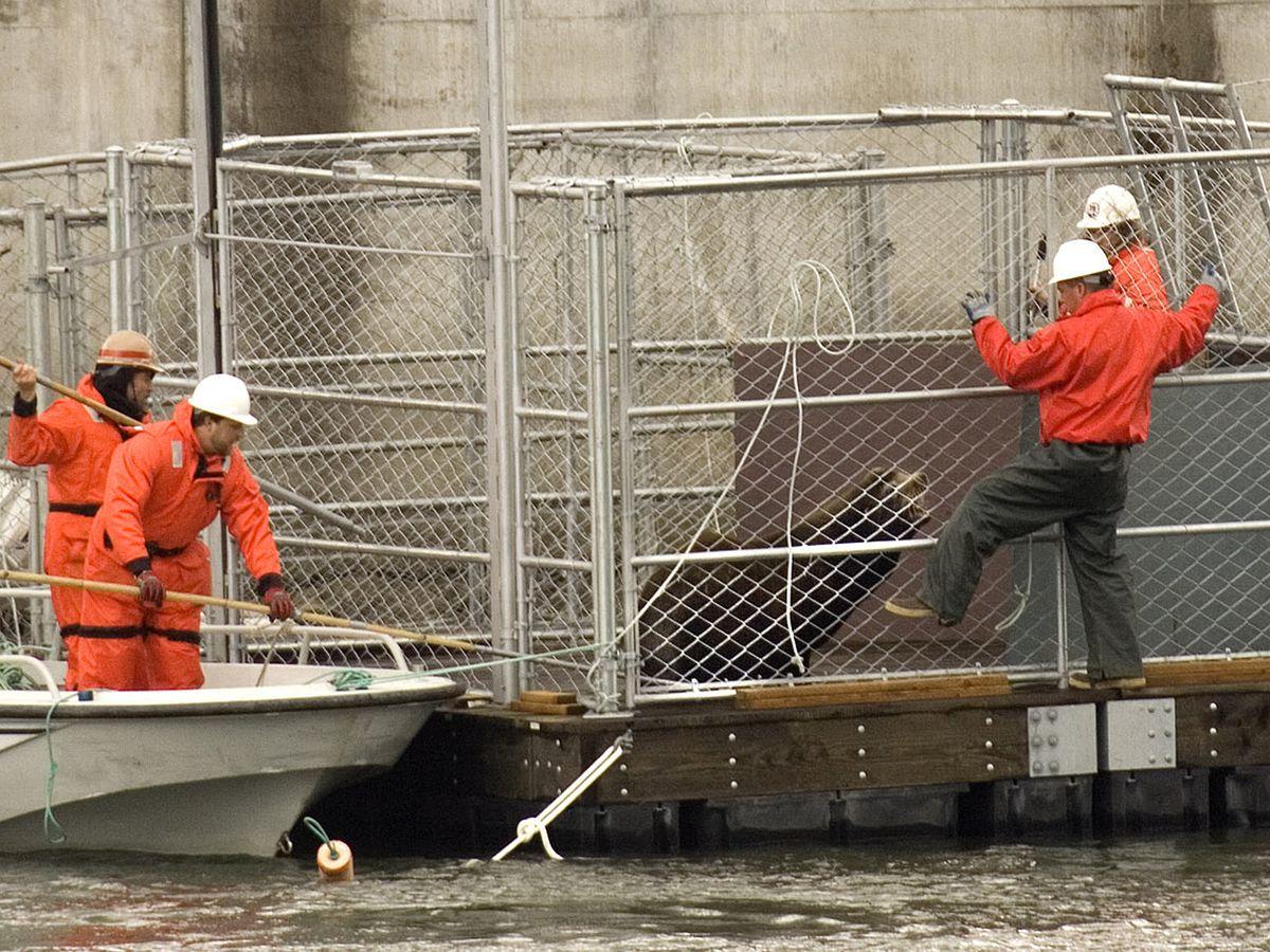 Congress OKs bill to allow killing sea lions to help salmon