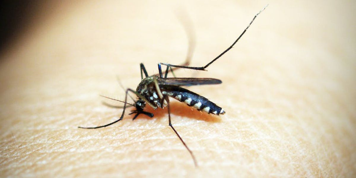 East Texas Ag News: Eliminate breeding sights to decrease summer mosquitoes populations