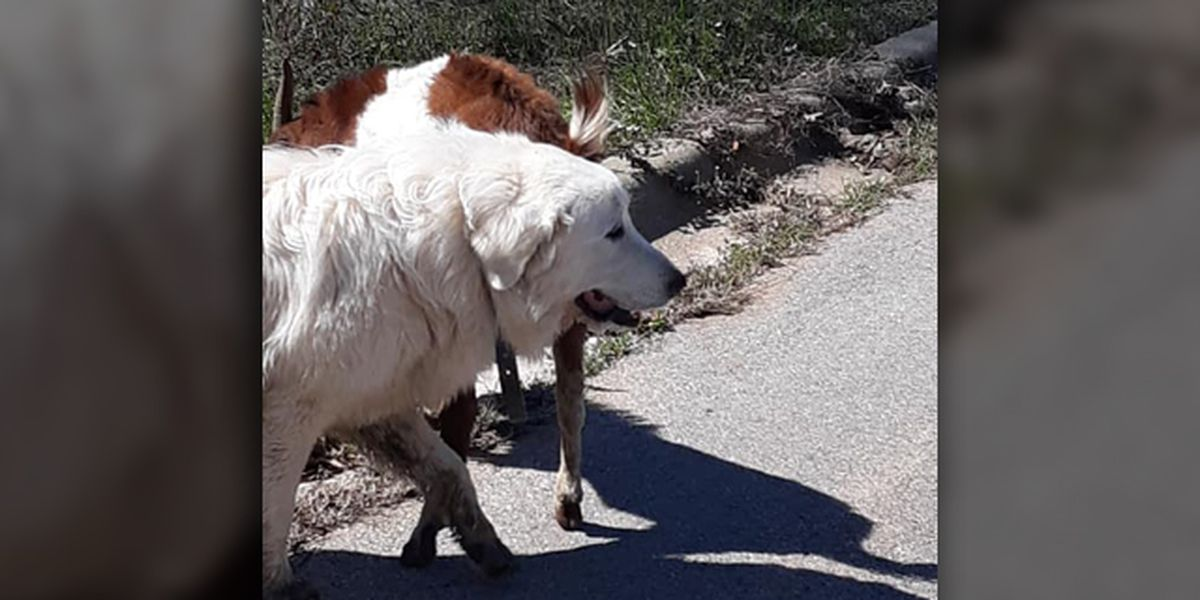This dog and goat are best friends on the run