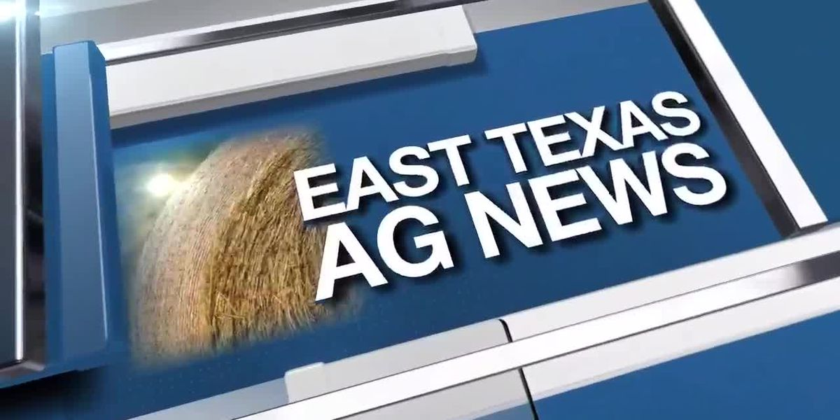 East Texas Ag News: High yield projected for Texas wheat crops