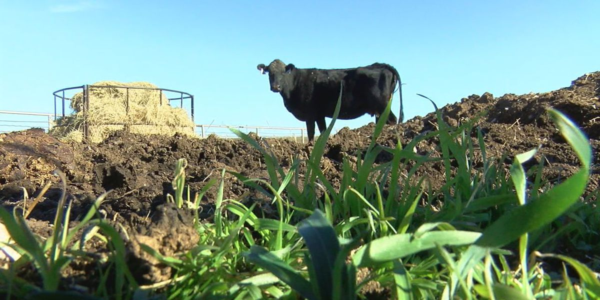 East Texas Ag News: The latest cattle and hay numbers