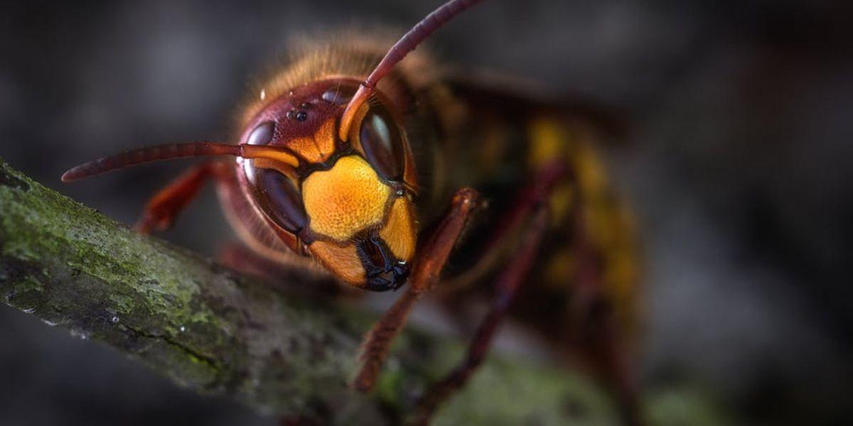 """East Texas Ag News: Not """"Murder Hornets"""" but Cicada Killers"""