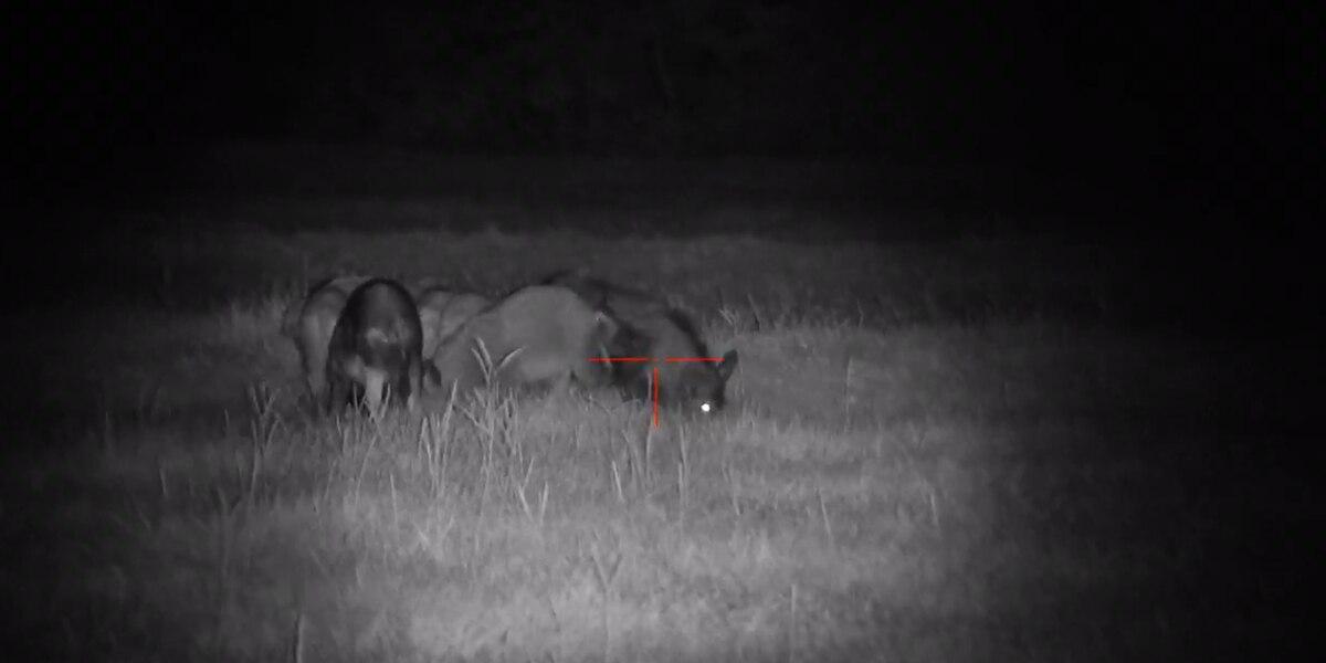Operation Pork Chop concludes; Wild Hog Supper to come
