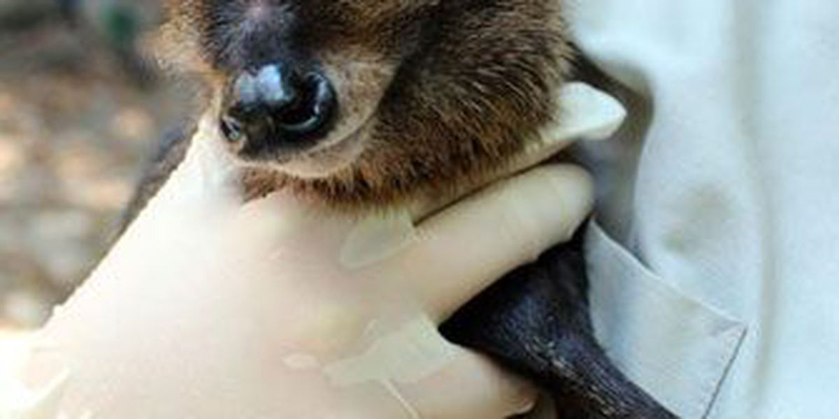 Lufkin's Ellen Trout Zoo welcomes baby bay duiker