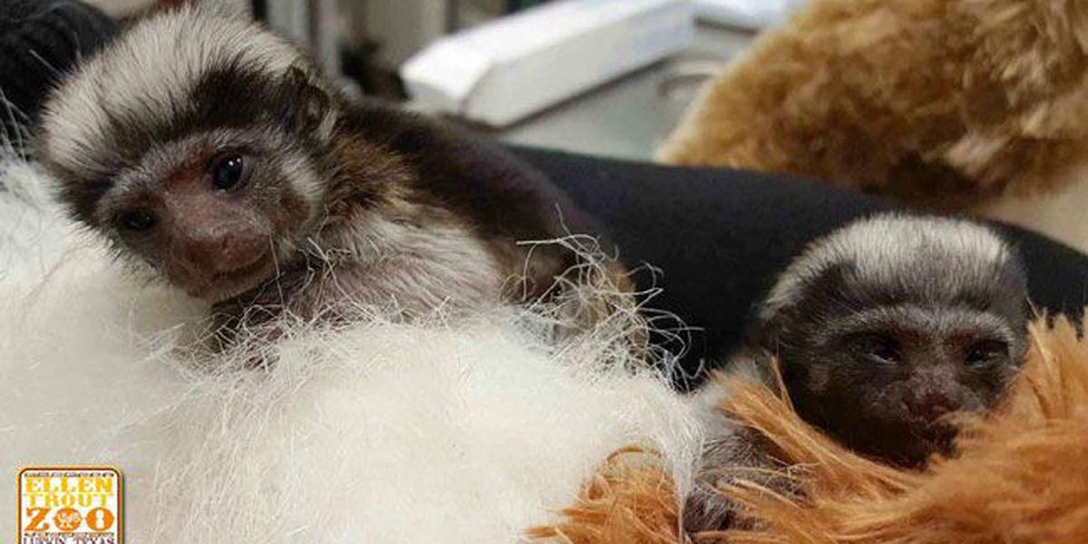 Lufkin's Ellen Trout Zoo welcomes twin baby Cotton-top Tamarins