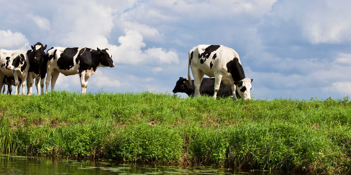 East Texas Ag News: Improved milk cow productivity in Texas