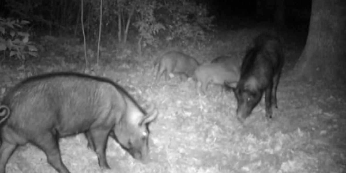 Texas A&M releases online tool for reporting wild hog sightings