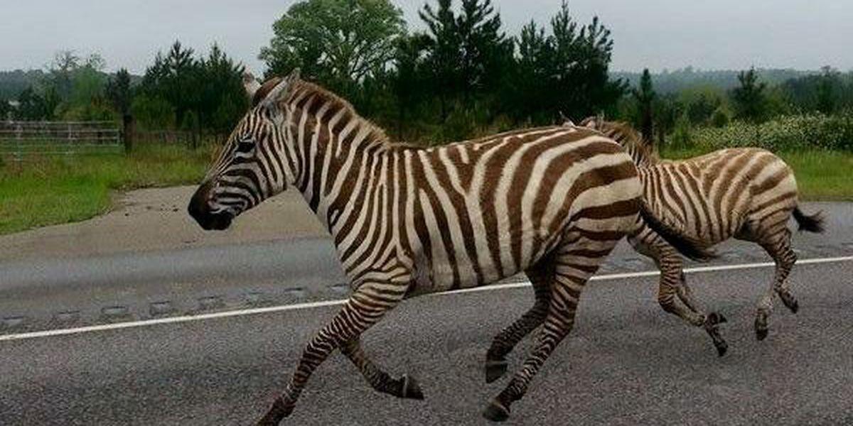Zebras run loose in Jasper County