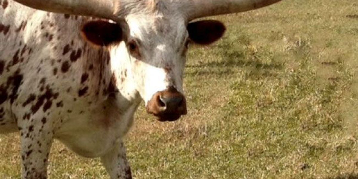 Crime Stoppers offering increased reward for info on Eve the longhorn cruelty case