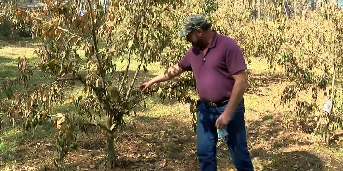 Winter storm has continued impact on East Texas citrus growers