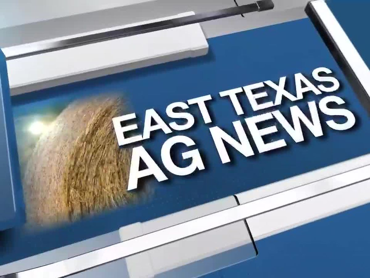 East Texas Ag News: This week's cattle prices slightly higher