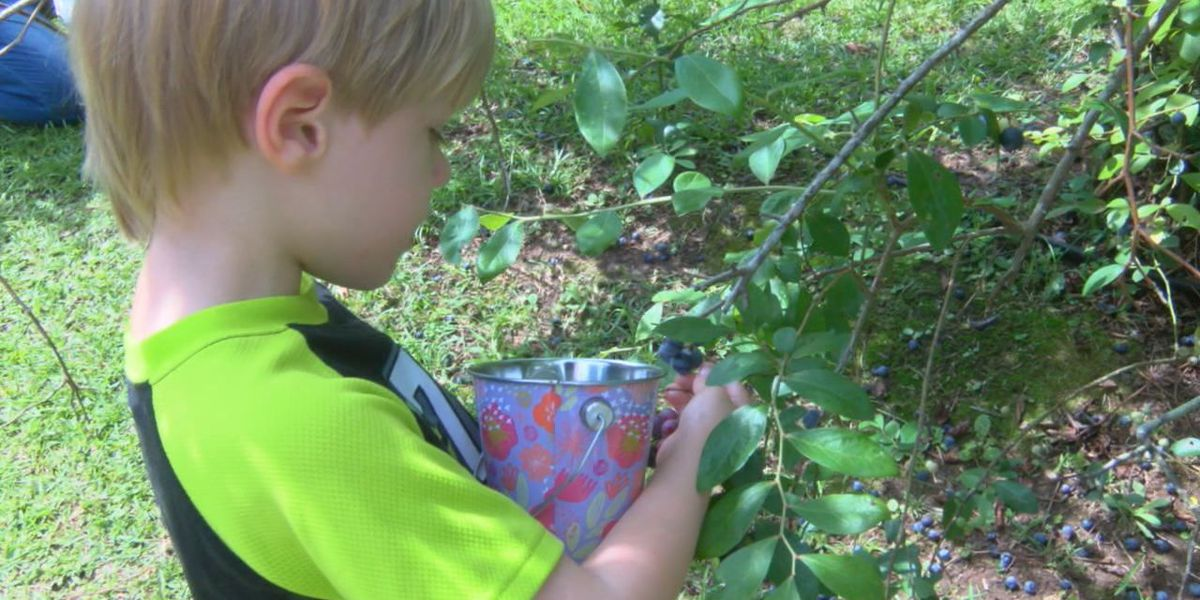 Bumper crop of blueberries ready in time for Nacogdoches' Blueberry Festival