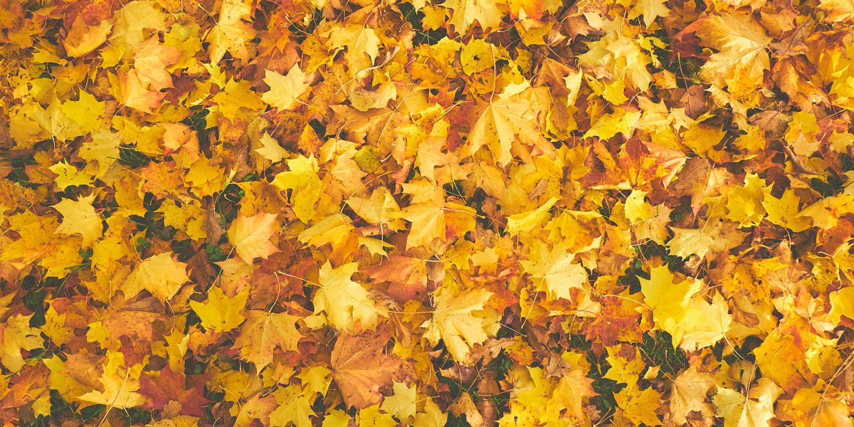 East Texas Ag News: Fall leaves and pine needles produce organic benefits for lawn