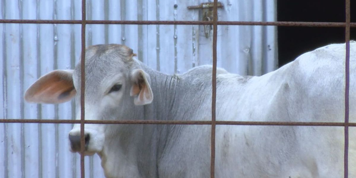 New regulations coming to East Texas livestock owners