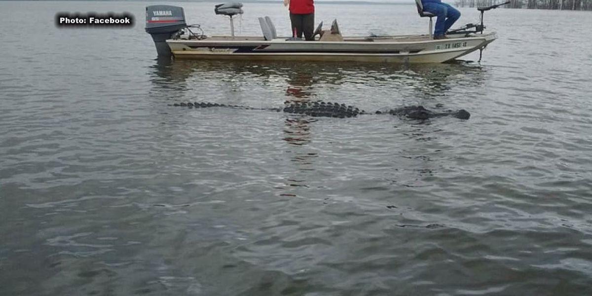 Game warden monitoring 13-foot gator on Lake Sam Rayburn