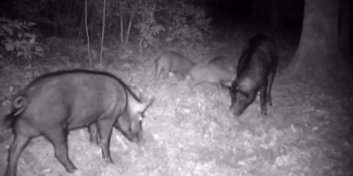 Governor signs East Texas senator's bill allowing feral hog kills without license