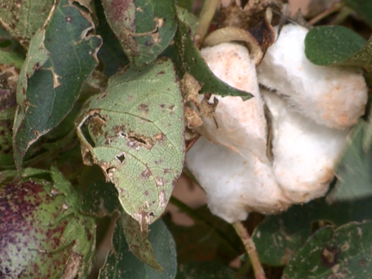 U.S. China trade negotiations impacts West Texas cotton industry