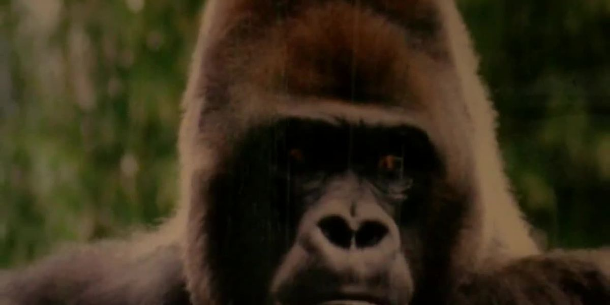 The Ellen Trout Zoo has plans for a new Gorilla Exhibit