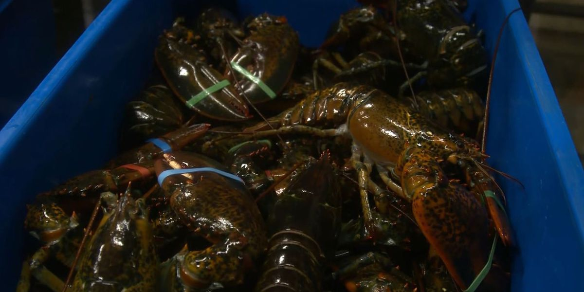 Maine's lobster industry hit hard by US-China trade war