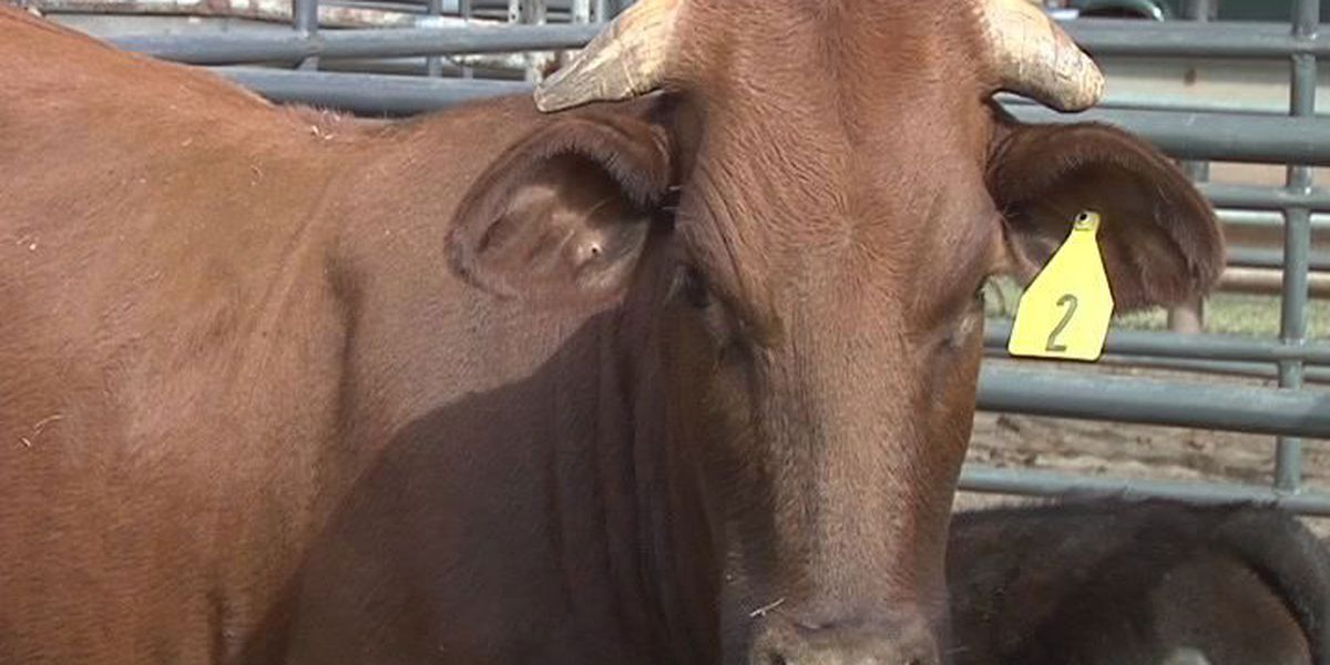 Nacogdoches Co. extension agent to host Beef 101 seminar