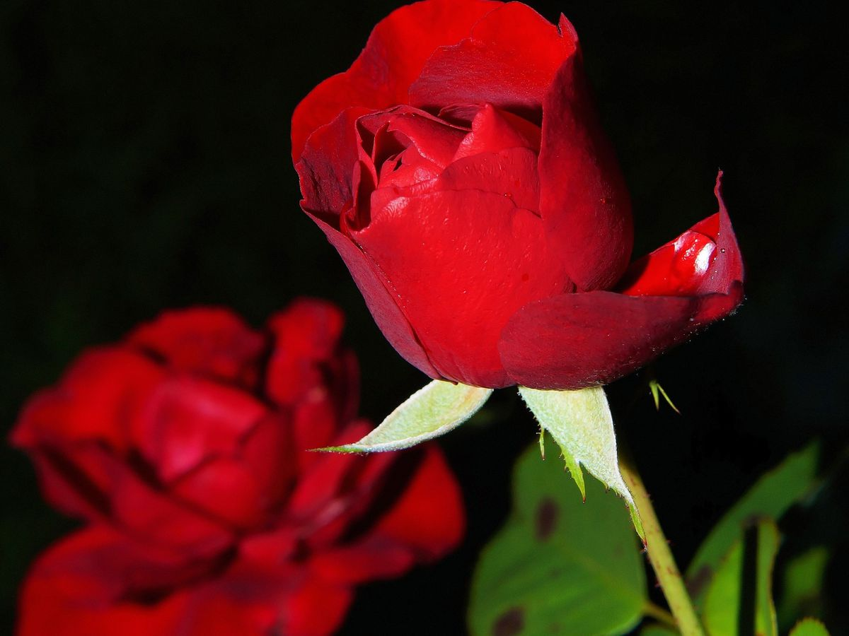 East Texas Ag News: Tips on fertilizing roses