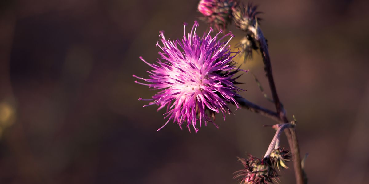 East Texas Ag News: Controlling thistle seed heads