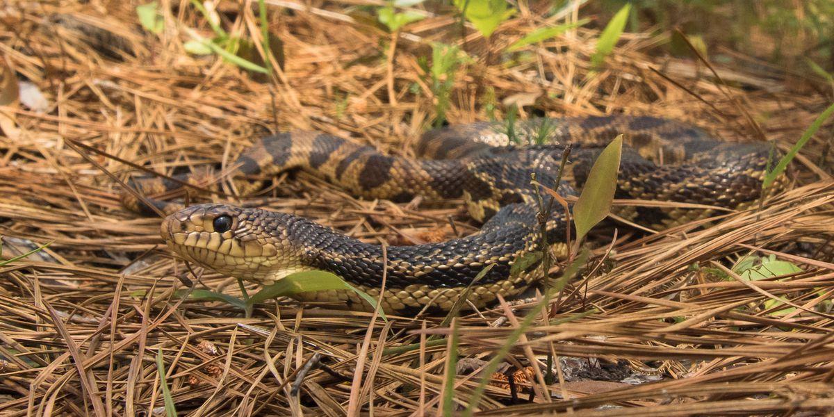 Lufkin OKs hiring Pine snake specialist, expert will focus on saving species