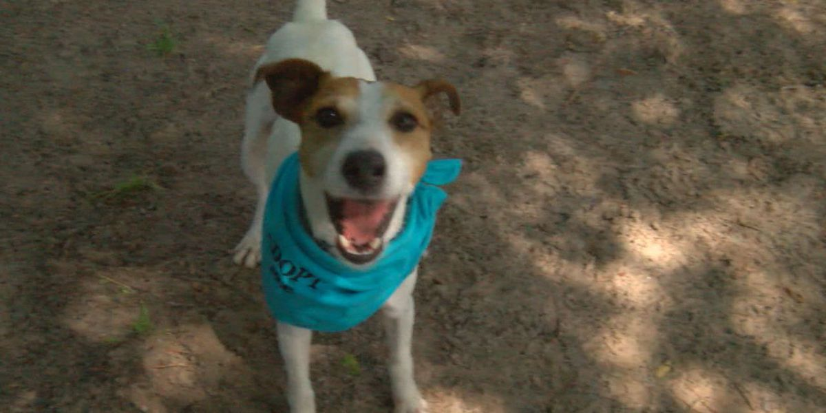 Active, affection Jack Russell terrier needs loving home