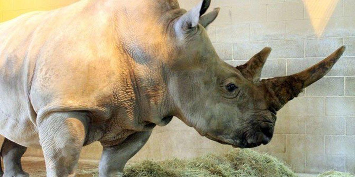 Paddy, a female white rhinoceros, arrives at Lufkin's Ellen Trout Zoo