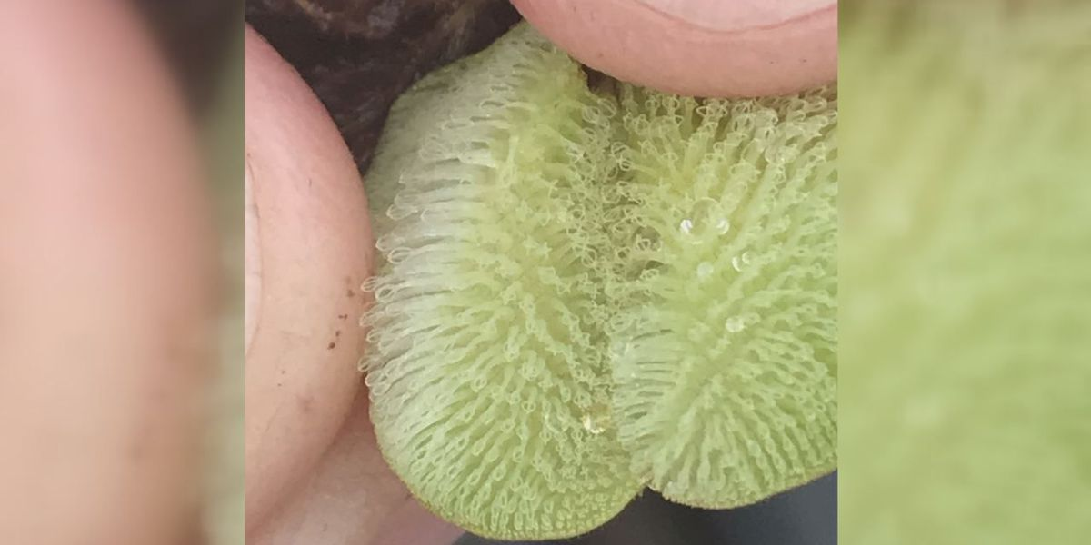 Lake Nacogdoches infested with Giant Salvinia