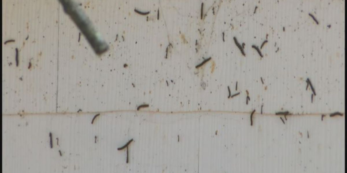 Caterpillars causing craze in Livingston