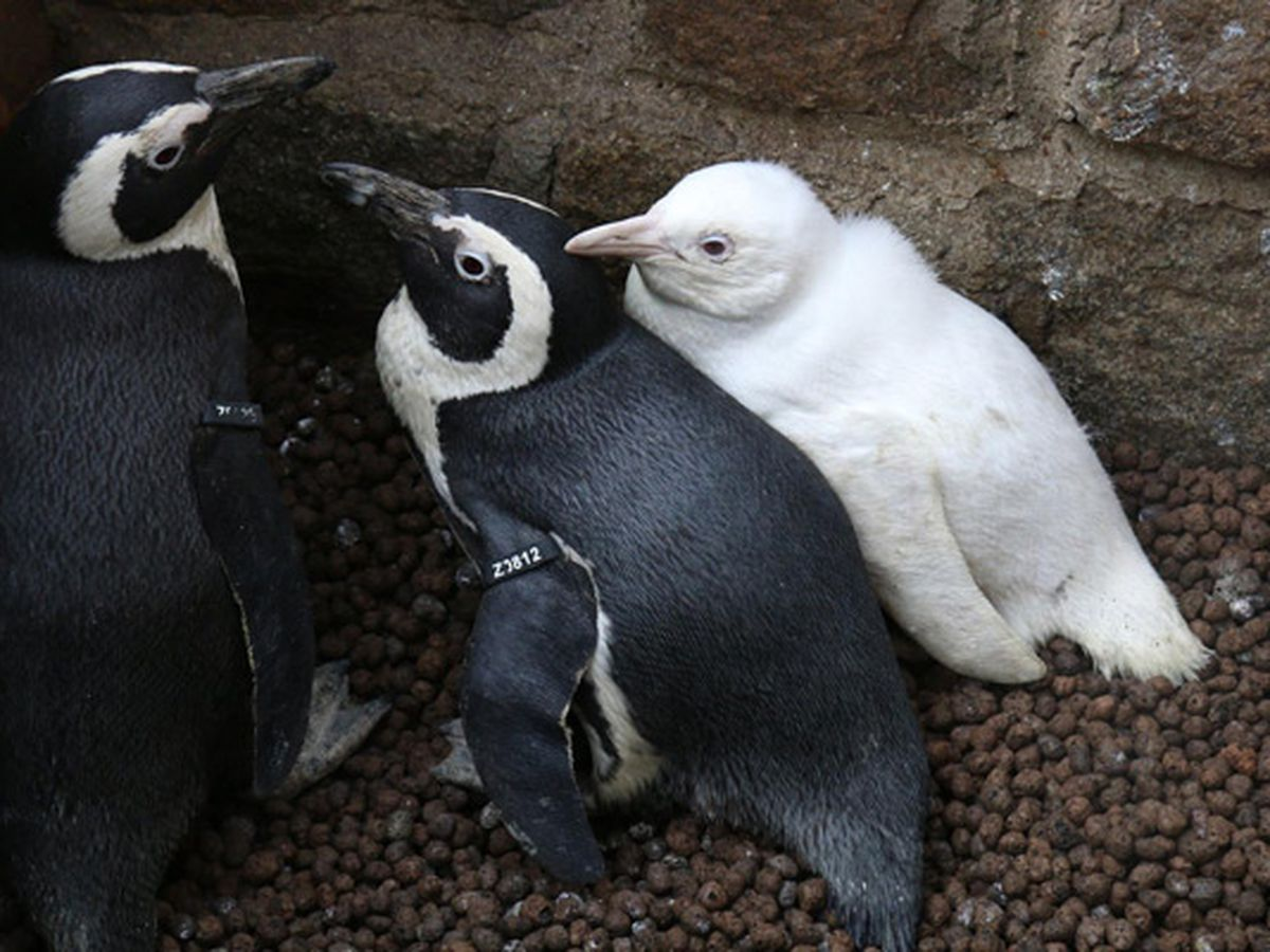 'Naked' penguin makes its debut at zoo in Poland