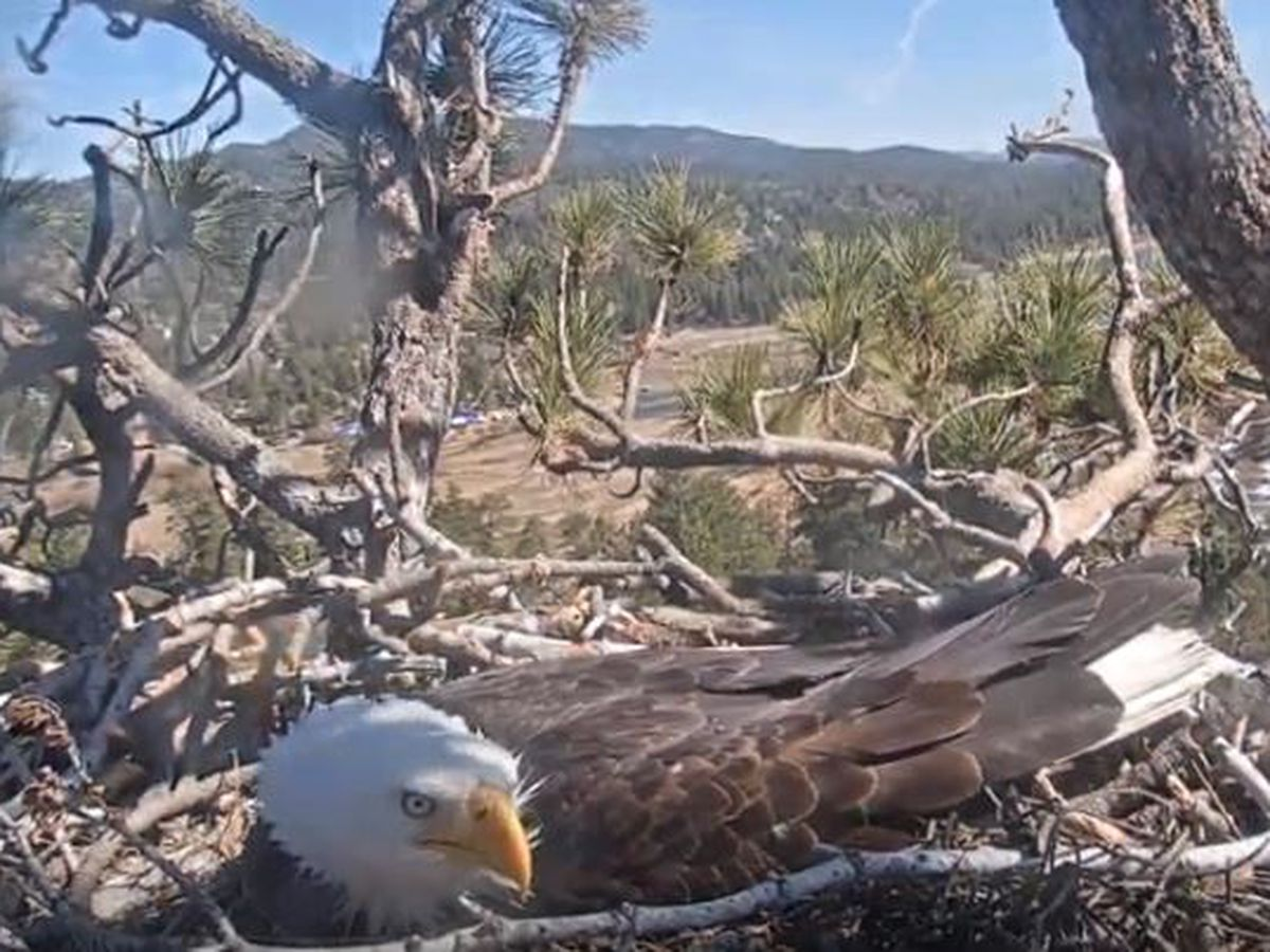 Eagle watch turns to egg watch as hatch time draws near