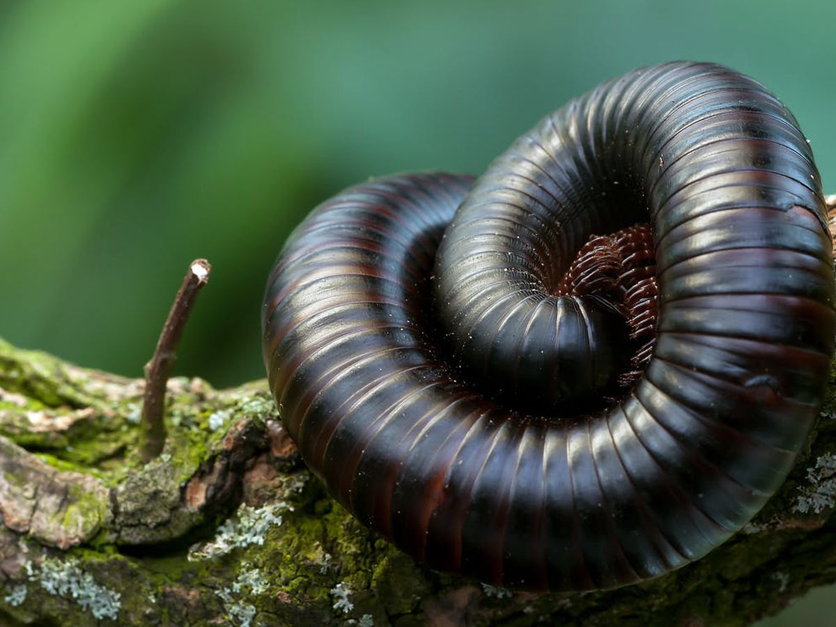 East Texas Ag News: Millipede numbers appear up this year