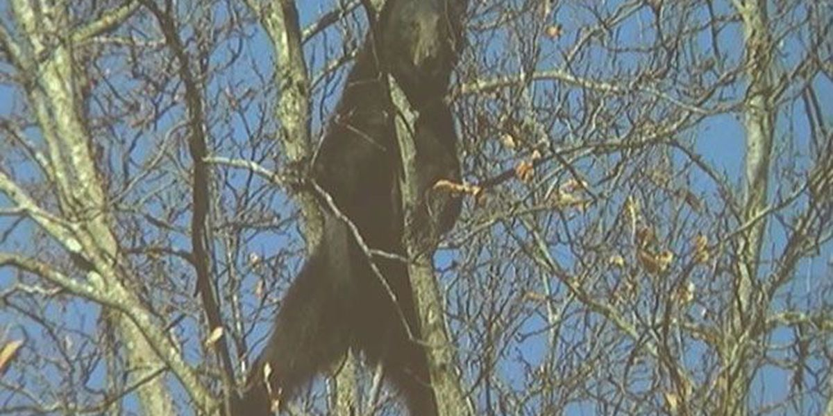 SFA wildlife biologist says black bear sightings are males on the prowl
