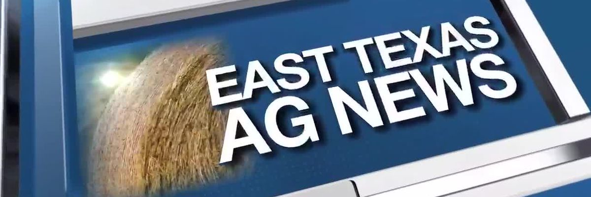 East Texas Ag News: Weather conditions affect cattle prices
