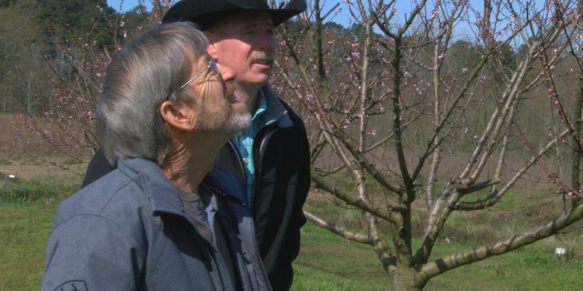 ETX peach farmers concerned recent freeze could hurt crop production