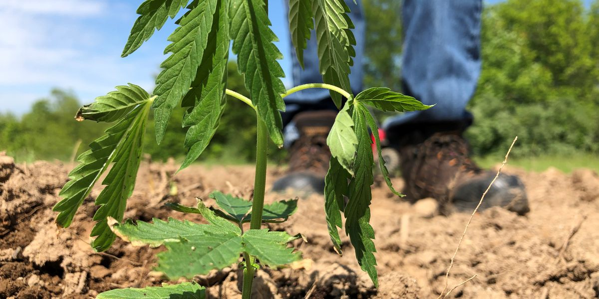 Texas farmers could begin growing hemp under legislation gaining steam in both chambers