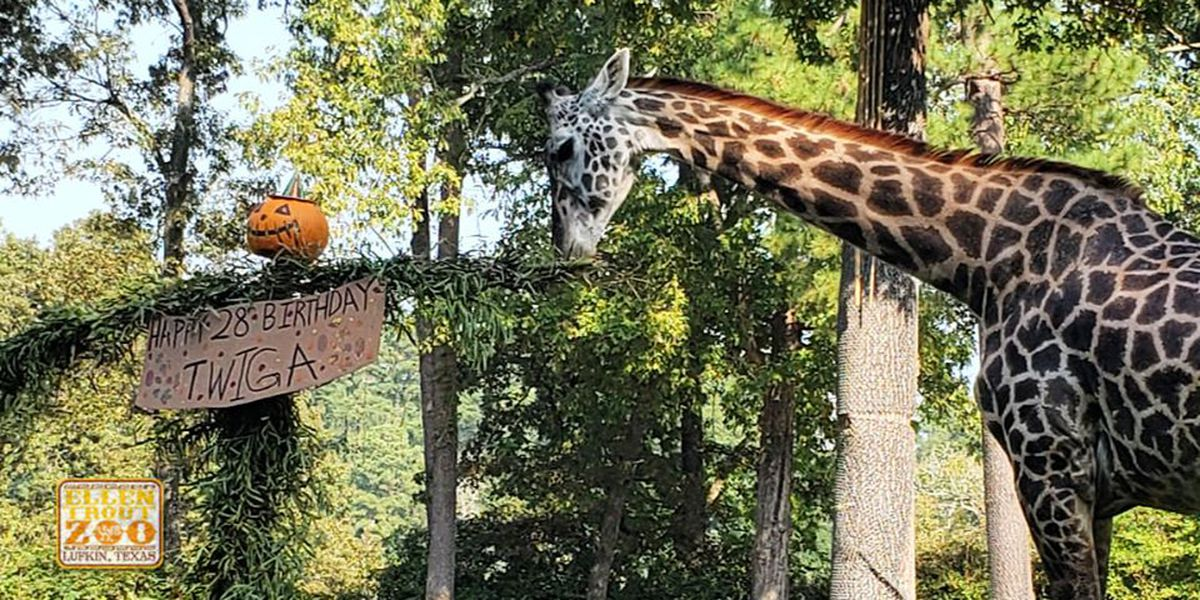Twiga the Giraffe at Ellen Trout Zoo celebrates 28th birthday